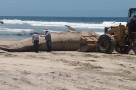 VIDEOS: Hallan ballena muerta en Rosarito; la entierran en la playa