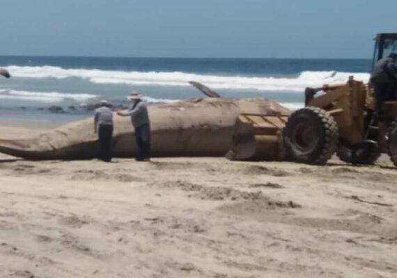 Hallan ballena muerta en Rosarito; la entierran en la playa