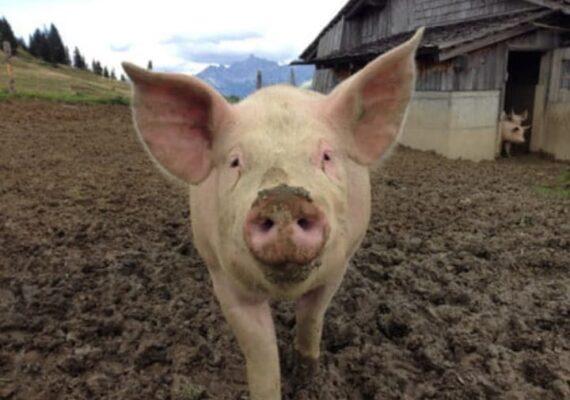 Reaparece la gripe porcina en mataderos de china