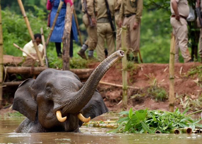 Una elefanta embarazada muere tras comer una piña llena de petardos