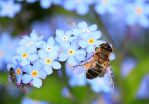 Advierten que el detrimento en las poblaciones de abejas amenaza el rendimiento de los cultivos en EE.UU.