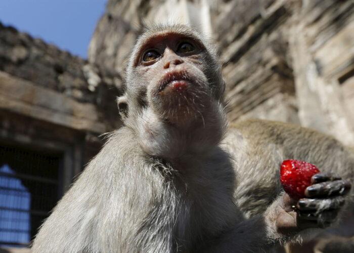 """Denuncian maltrato físico y psicológico a monos """"esclavizados"""" para recolectar cocos"""