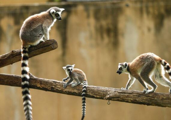 El lémur, la ballena y el hámster se encuentran al borde de la extinción