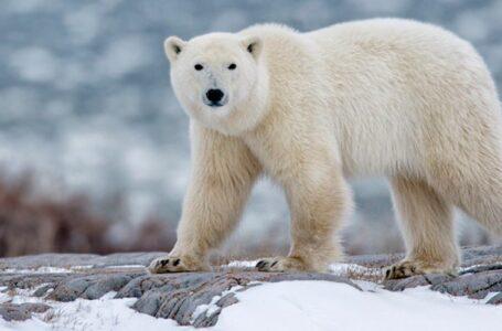 Alertan de extinción inminente del oso polar
