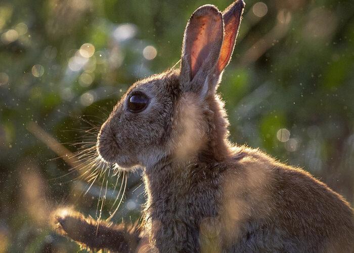 Un virus mortífero parecido al ébola se propaga entre los conejos en EE.UU. y México