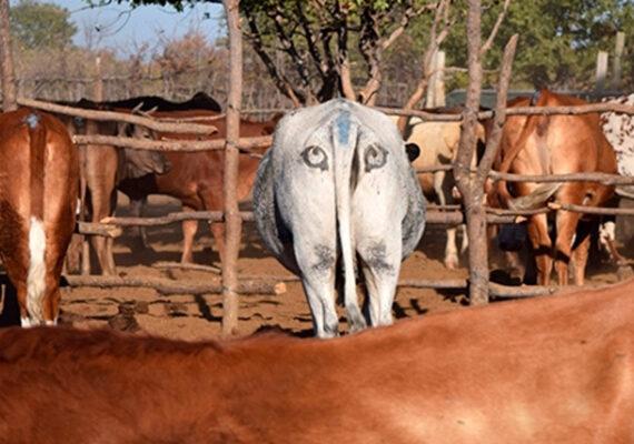 Biólogos pintan ojos falsos en el trasero del ganado: ¿para qué?