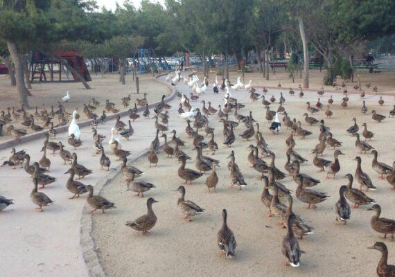 """El Parque de la Amistad del Sistema Municipal de Parques Temáticos de Tijuana (Simpatt), recibió este jueves, cerca de dos centenares de patos de la especie Ánade Real, originarios de Norteamérica y Canadá, como parte de la migración de las aves que encuentran un ecosistema adecuado para su supervivencia, en la región. El director del Simpatt, Juan Alberto Gómez Bárcenas, explicó que cada año se reciben este tipo de animales en el área verde ubicada en la Delegación Otay Centenario, encontrando en el parque un espacio que les permite sentirse cómodos, por lo que una de las encomiendas del presidente municipal, Arturo González Cruz, es proporcionarles un hábitat seguro. """"Algunos de los patos se quedan permanentemente en las instalaciones del parque, ya que los cuidados que el personal del Simpatt es el correcto y cada año incrementa la comunidad de aves, que contabiliza una cifra superior a los 500 animales domésticos. El compromiso es seguir proporcionándoles espacios adecuados para subsistir"""", explicó el titular de la dependencia. Gómez Bárcenas detalló que esta es una de las razones que se tienen para mantener en óptimas condiciones las instalaciones del inmueble con los servicios correspondientes para que las aves y demás especies, encuentren en Tijuana, el lugar idóneo para vivir, sin que su correr riesgos ni peligros, implementando programas para mejorar el medio ambiente. Sin embargo, existe la preocupación de las autoridades municipales por la flora y fauna del lugar, tras un reciente operativo de la Comisión Estatal de Servicios Públicos de Tijuana (Cespt), en donde encontraron una supuesta toma clandestina de agua potable, de la que el personal del XXIII Ayuntamiento de Tijuana, no tenía conocimiento y en caso de cortar el suministro, podría afectar la estabilidad de las aves. El Gobierno Municipal hace un llamado a las autoridades estatales a trabajar en coordinación entre ambos organismos, para contar un mejor ecosistema y un entorno saludable que permita"""
