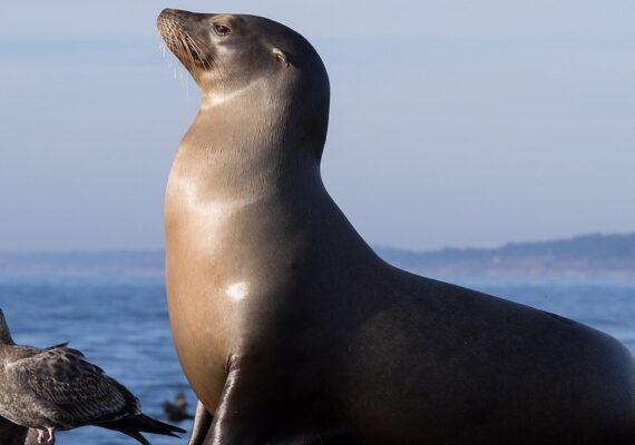 Autoridades ambientales mexicanas investigan la misteriosa muerte de más de 130 lobos marinos