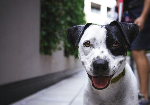 Revelan cómo los perros muestran amor por sus dueños y qué sienten cuando les dicen que los quieren