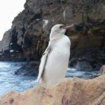 Descubren al primer pingüinototalmente blanco
