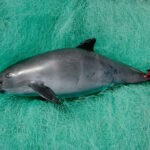 México analiza reducir zona protegida para la vaquita marina