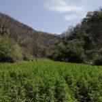 México: preocupa a cultivadores legalización de marihuana